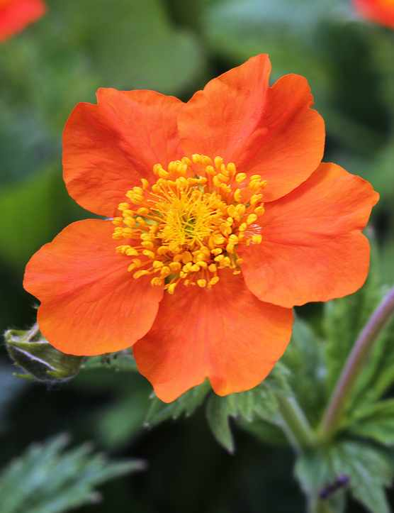 Advice on growing geum