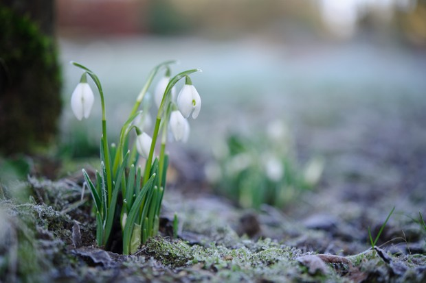 A small patch of snowdrops grow happily surrounded by frost on the ground