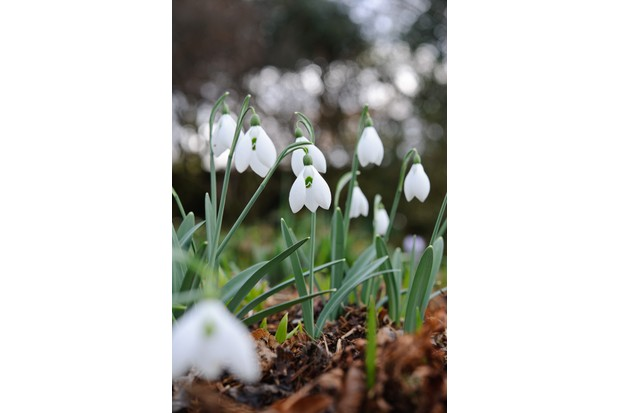 Galanthus Mighty Atom Clan