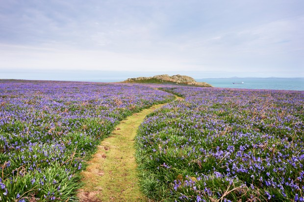 Skomer Island bluebells. Photo: Tim Hurst/Getty Images