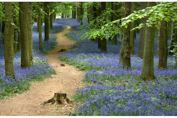 Winding footpath through bluebells, tree trunks and green leaf canopy.