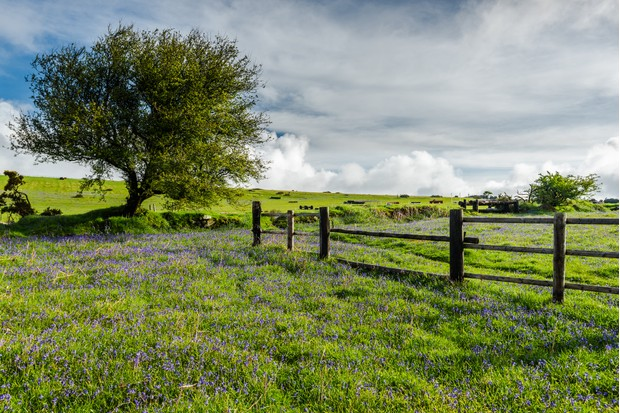 Lonely tree on wild meadow with bluebells and old wooden fence in rural Devon