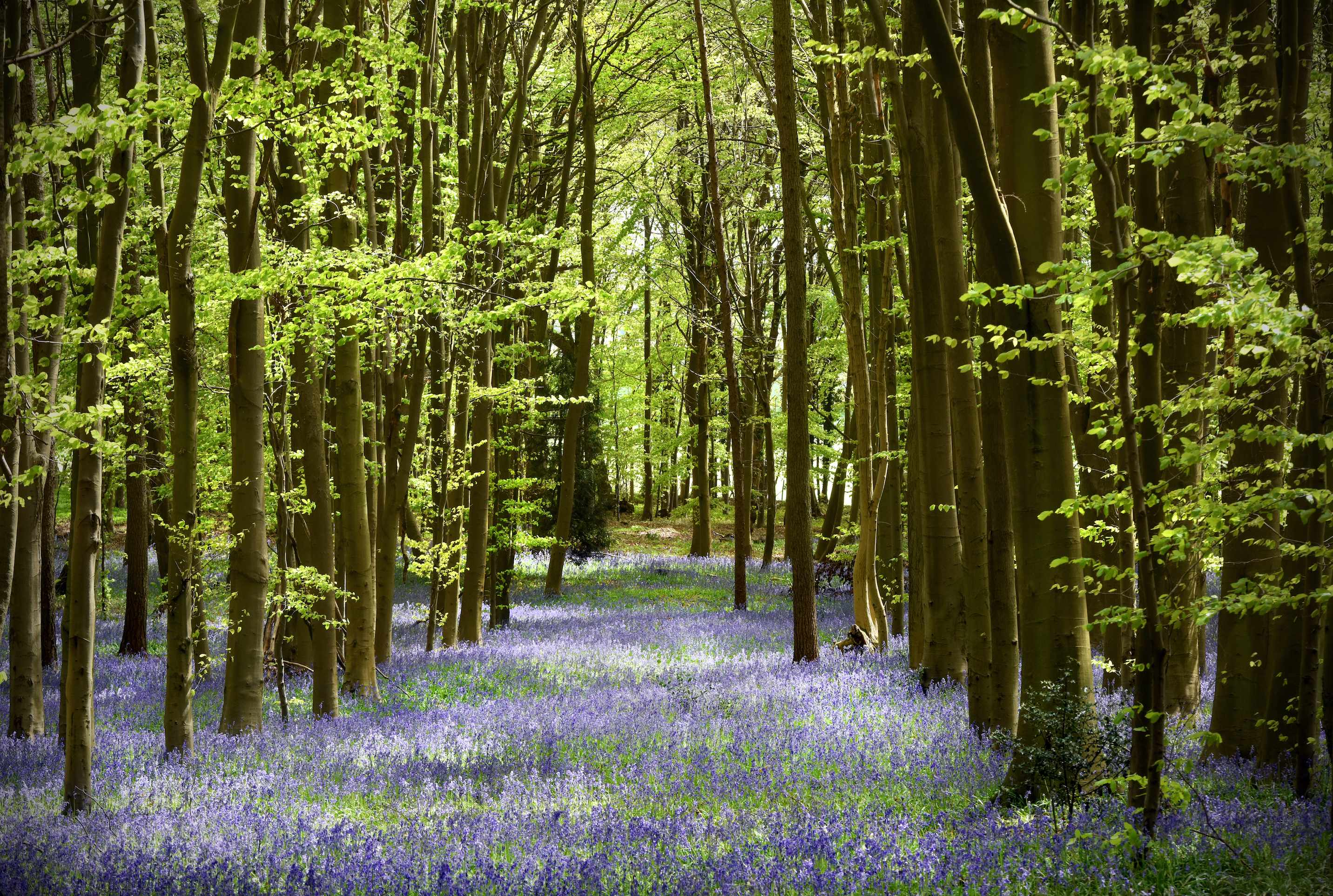 Wild bluebells carpet a woodland glade in England during spring