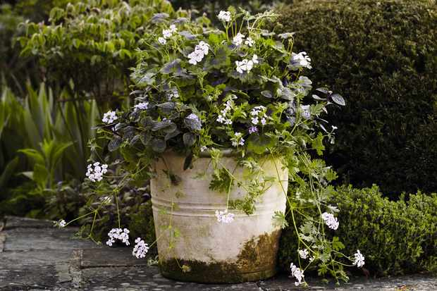 A rustic white painted container with growing moss is planted with box and osmanthus