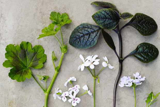 Grey deep cut leaves of Pelargonium 'Blandifordianum, simple pure white Pelargonium 'White Boar', Plectranthus ciliatus Maroon-purple leaves with lilac-pink flowers and Glandularia Aztec Silver Magic (= 'Balazsilma') Lush, dark-green leaves and lavender-coloured flowers all summer.
