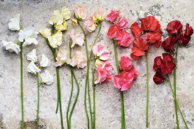 Sweet peas: Growing tips and where to buy the best range of seeds