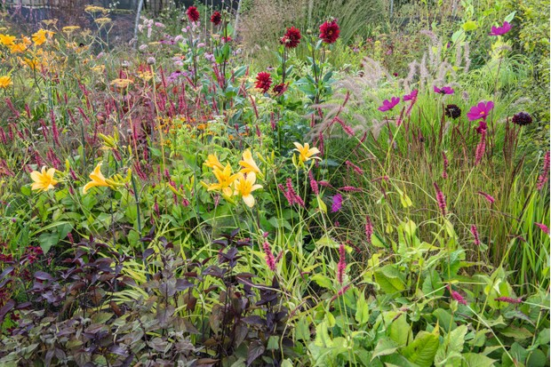 Cosmo and Dahlia flowers make up a planted border in fiery colour combinations