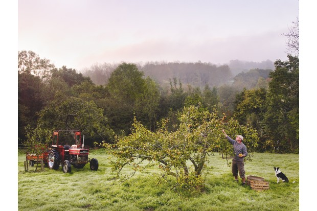 Gardener picks apples from a tree in a wild orchard accompanied by a sheepdog