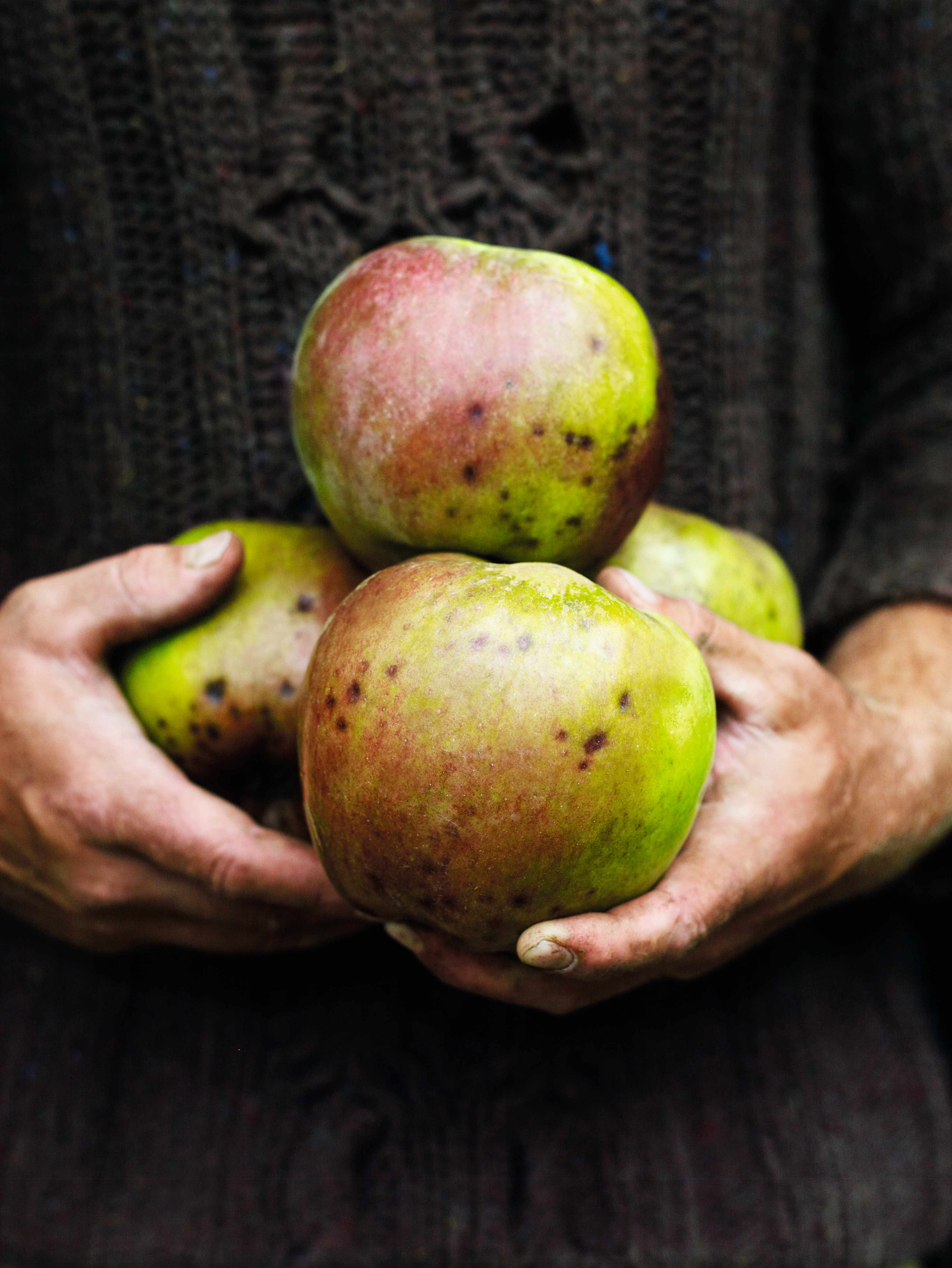 Close up of gardener holding four cooking apples close to his chest