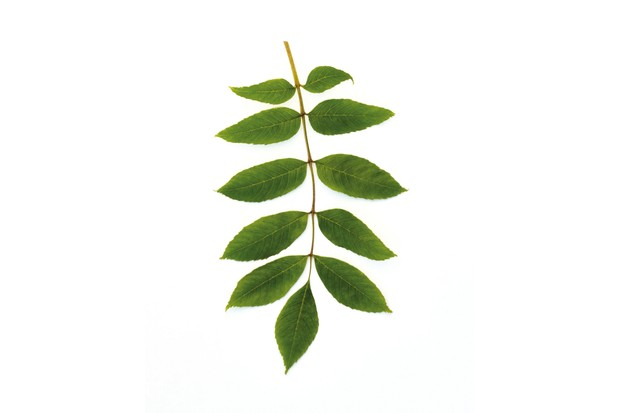 Common ash leaves