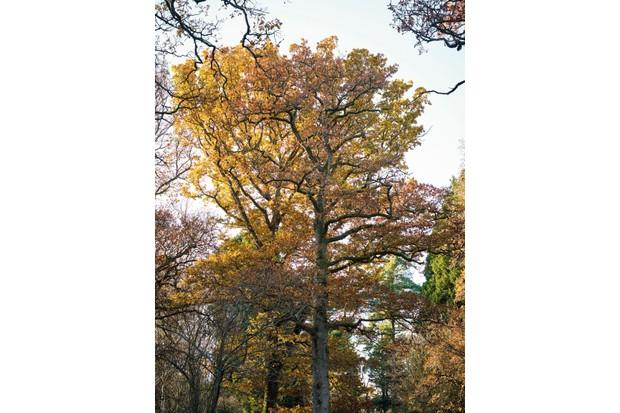 Quercus robur - common oak