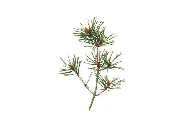 Pinus Sylvestris (Scots Pine)