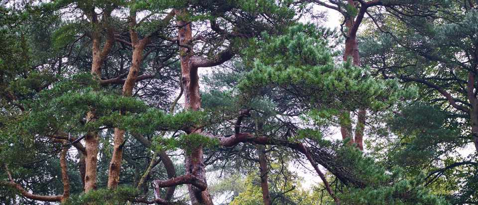 Identifying Larch Yew And Pine Trees Gardens Illustrated