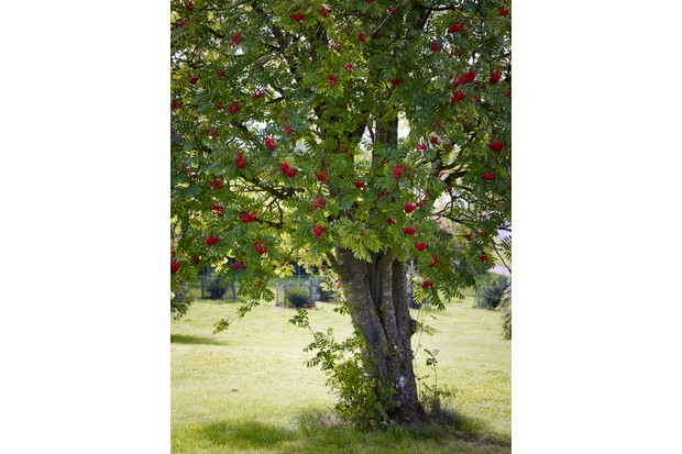How To Identify Trees Berrying And Hedgerow Trees Gardens Illustrated