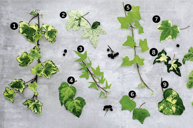 Cream and yellow-flushed and variegated ivies