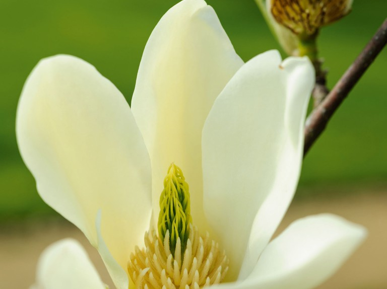Yellow Magnolias The Best For Your Garden Gardens Illustrated