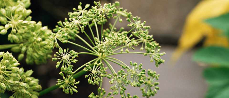 The seed head of an angelica plant is beautiful to grow and its stems can be used in cooking. Photo: Getty Images