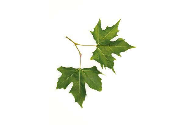 Tree Identification at Westonbirt Arboretum (August - September