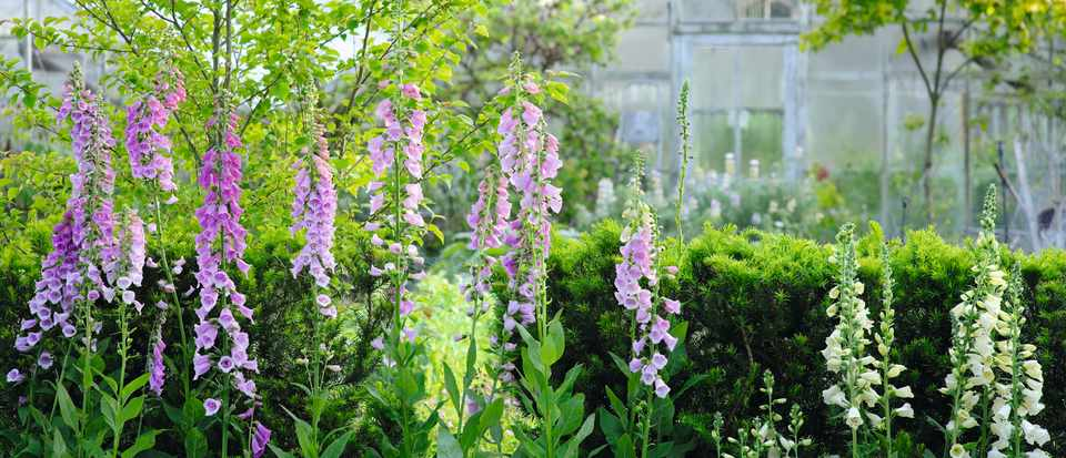 The Botanic Nursery in Wiltshire offers the widest range of foxgloves in the British Isles and hold the National Collection.