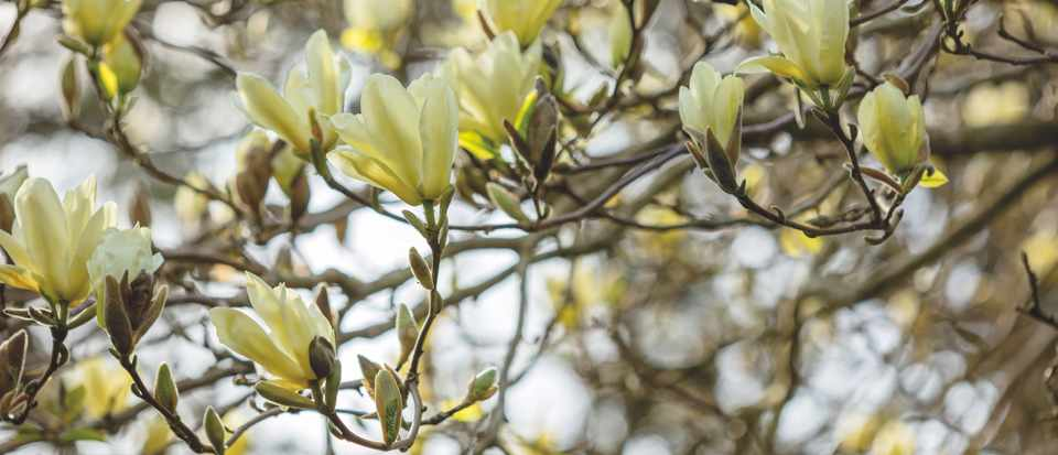 CAERHAYS CASTLE, CORNWALL: CLOSE UP PLANT PORTRAIT OF THE YELLOW FLOWERS OF MAGNOLIA 'ELIZABETH' IN THE WOODLAND. SPRING, SHADE, APRIL, TREE, PETALS