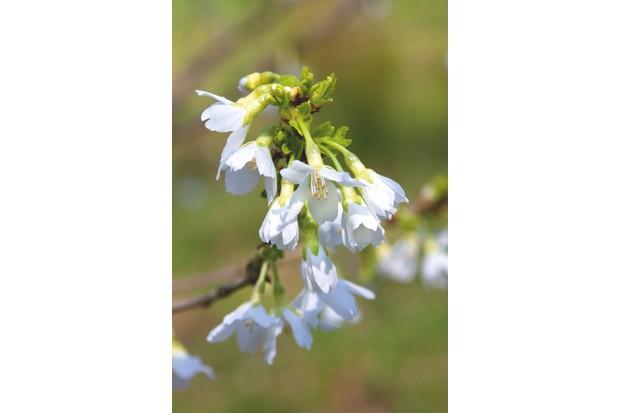 Prunus 'Kiki Shidare Zakura'