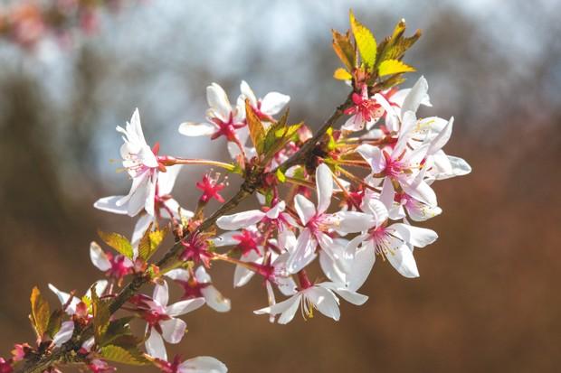 Prunus incisa 'Fujimae'