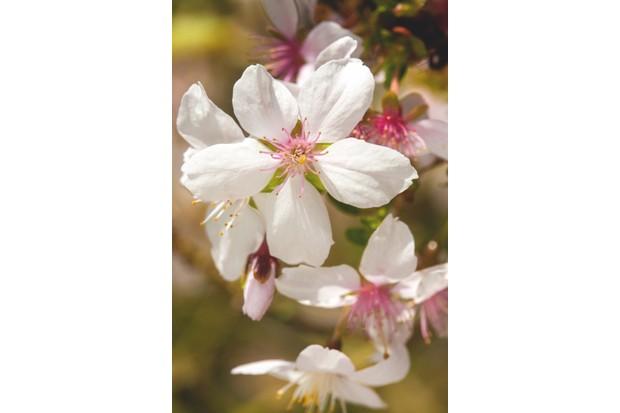 Prunus 'Fudanzakura'