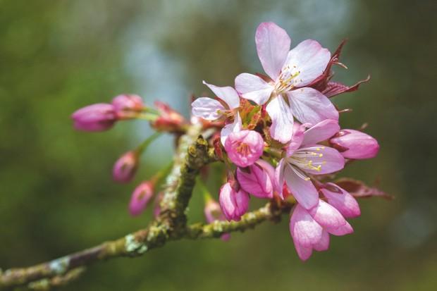 Prunus sargentii - Sargents Cherry