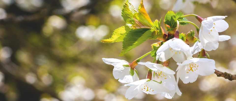 Prunus 'Umineko' cherry blossom tree