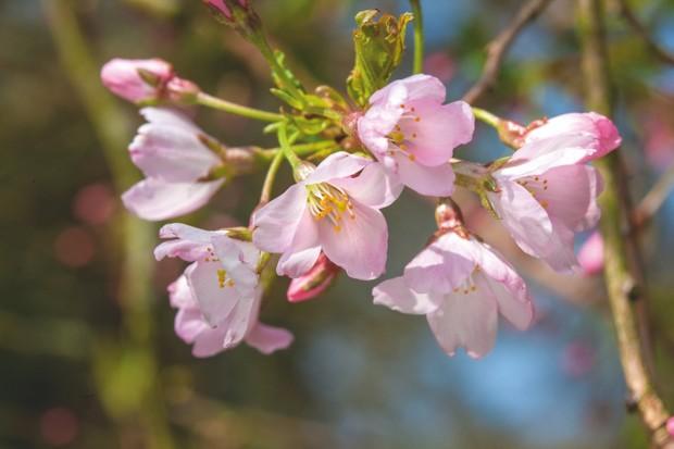 Prunus 'Pink Shell'