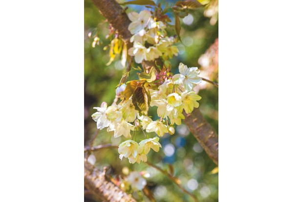 Prunus 'Gyoiko'