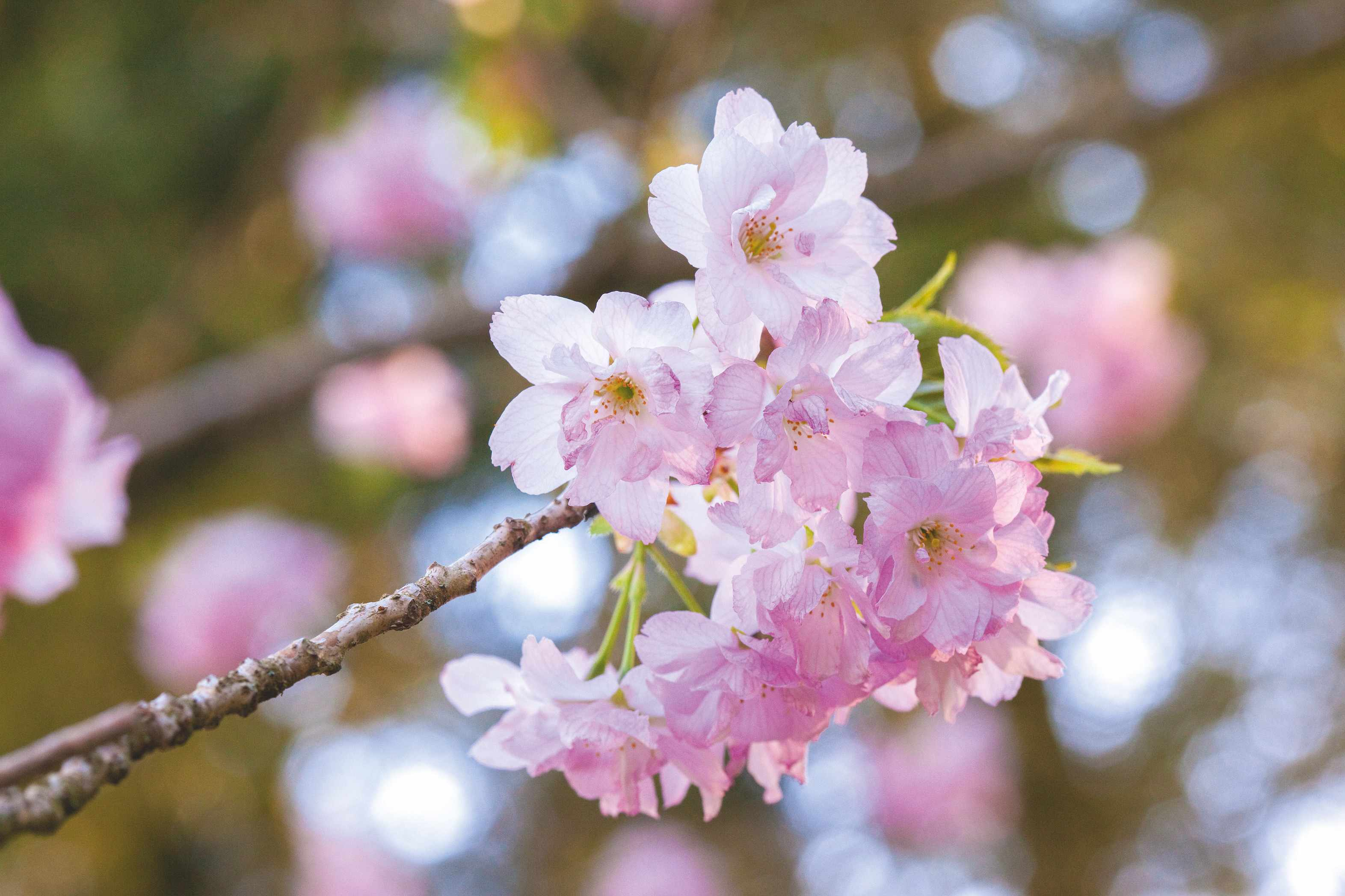 The best cherry blossom trees