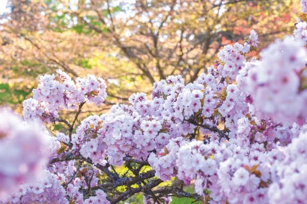 Prunus 'Takasago'