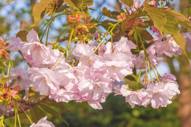 16 Of The Best Cherry Blossom Gardens Illustrated