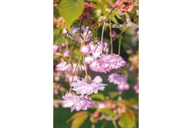 Prunus 'Kiku zakura'