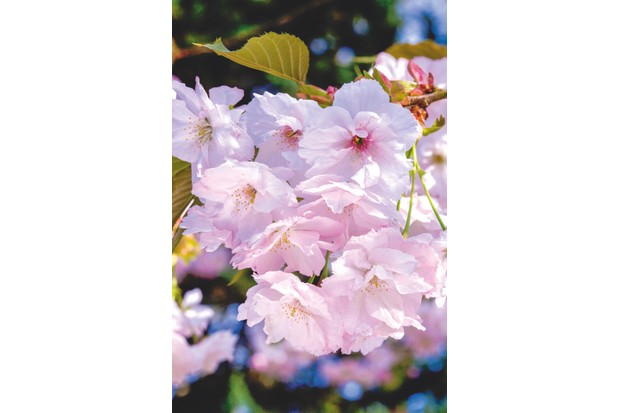 Prunus 'Pink Perfection'