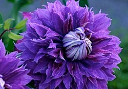 A photo of purple clematis called Diamantina Evipo