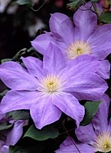 A photo of a purple clematis called Diana's Delight