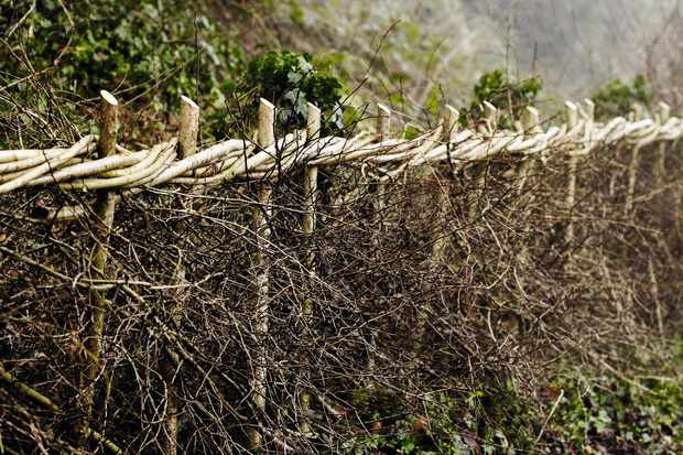 Traditional hedge laying styles vary across the UK. This style of laid hedge is from the midlands.