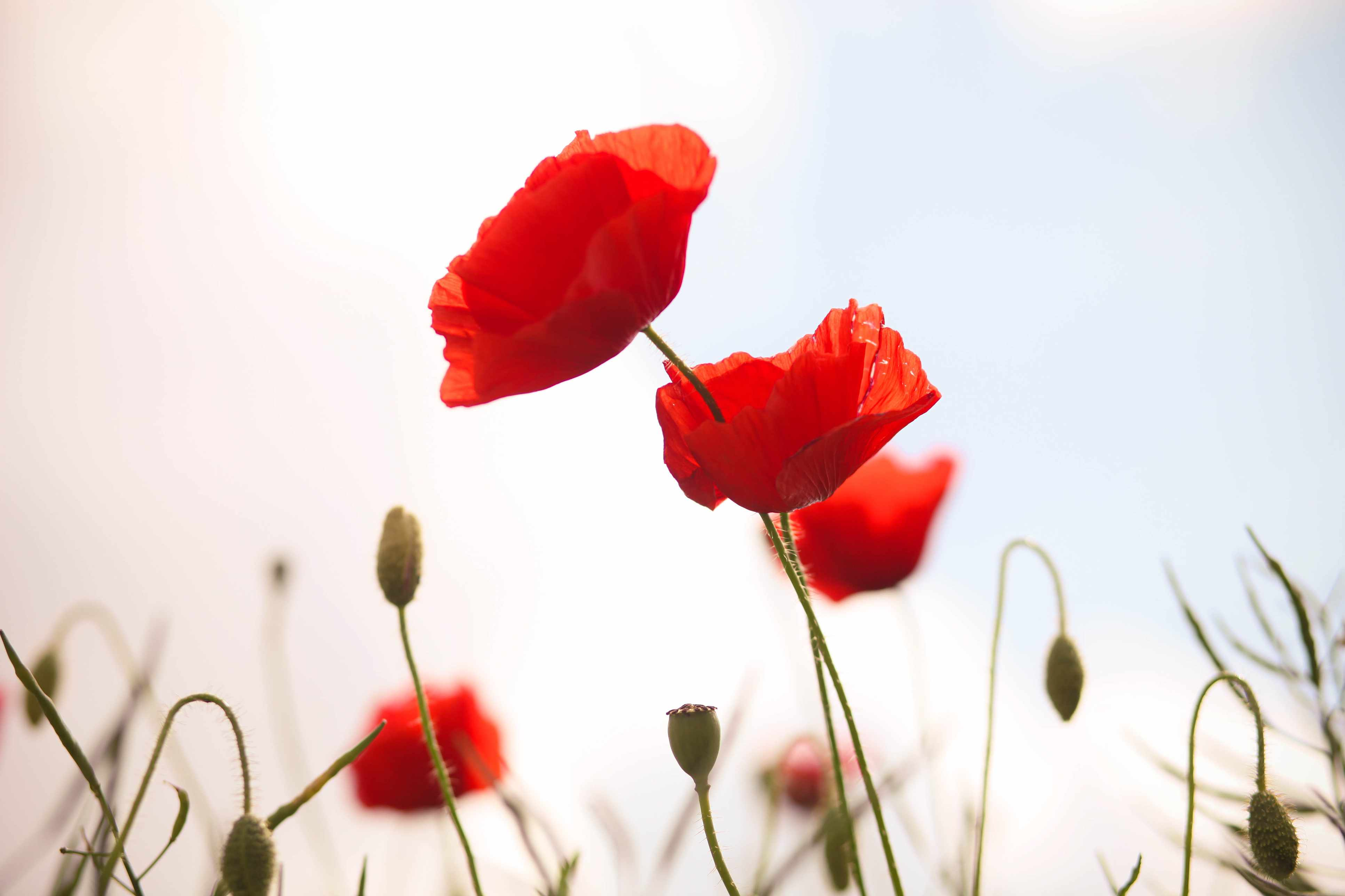 10 facts you probably didn't know about poppies