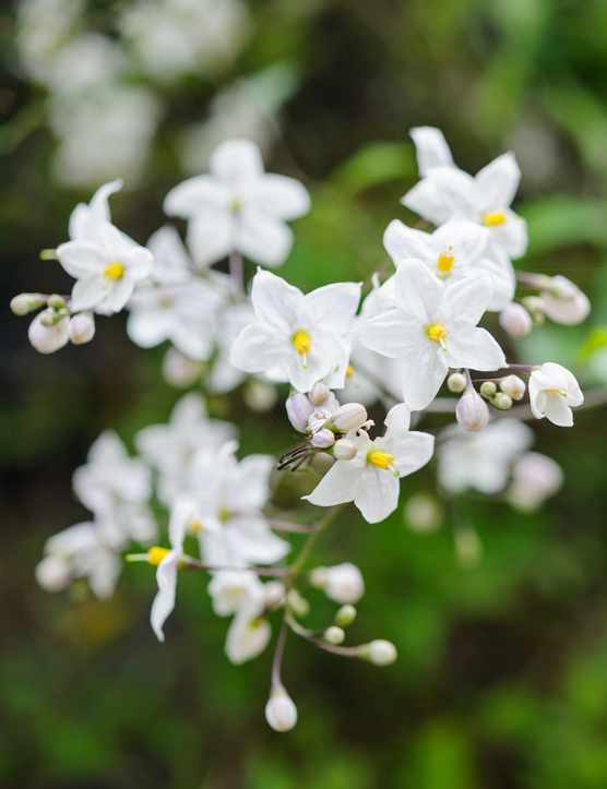 best climbing plants for gardens - Solanum crispum album