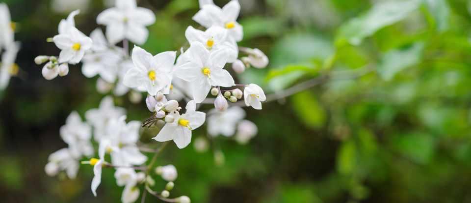 best climbing plants for gardens - Solanum crispum album
