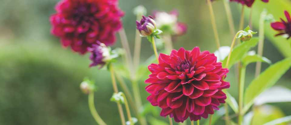 10 things you possibly didn t know about dahlias gardens illustrated