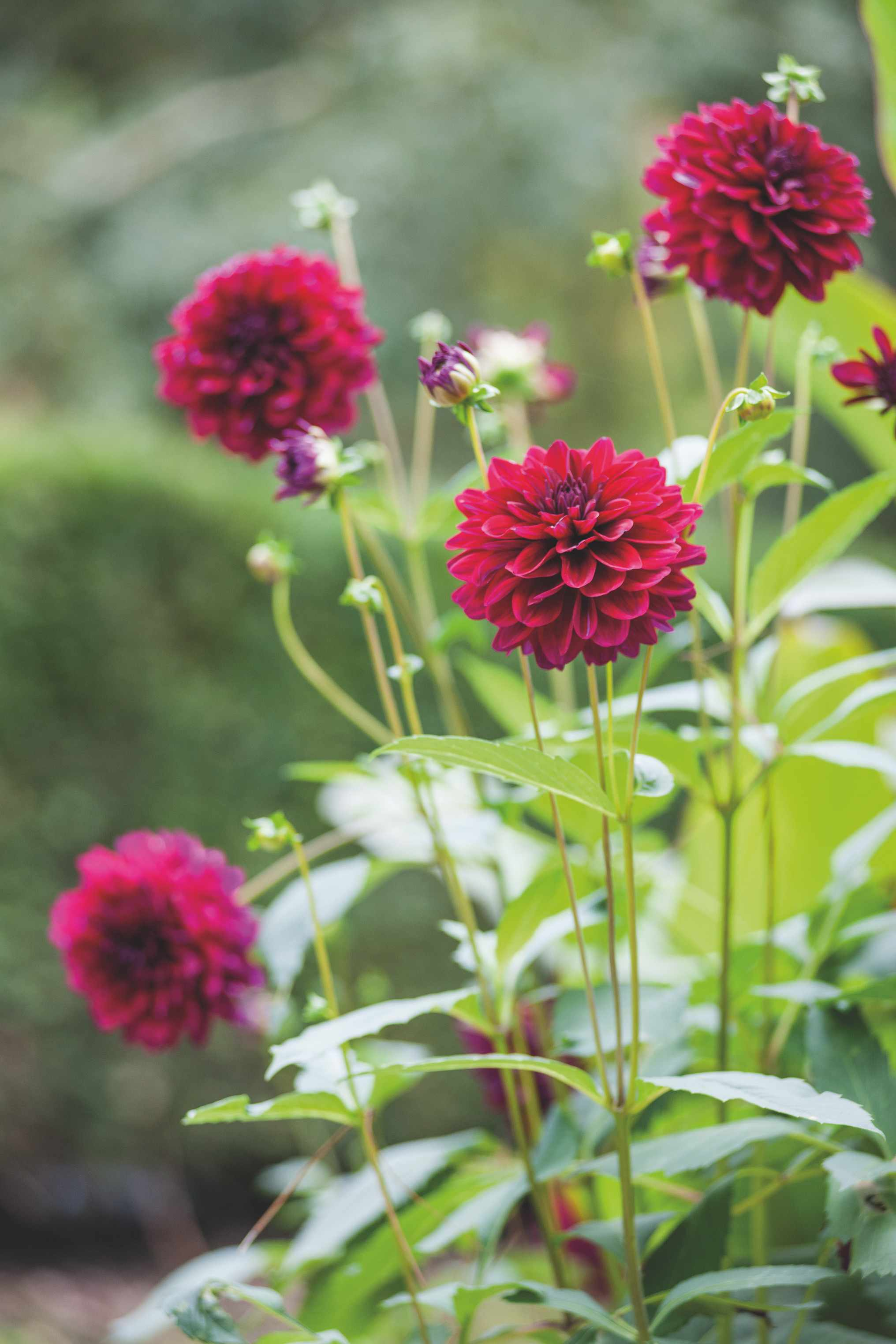 Dahlias come in all different colours and have strong stems making them a perfect choice to grow for a cut flower garden