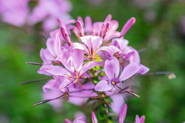 Cleome. Photo by Jason Ingram