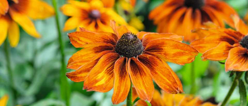 Rudbeckia hirta 'Cappuccino'. Photo by Jason Ingram