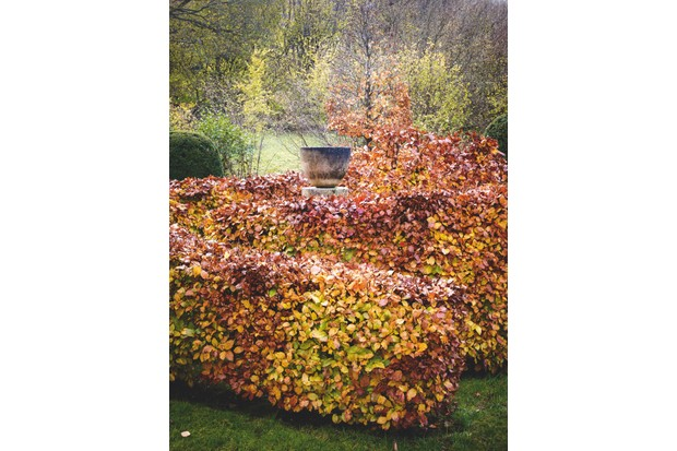 Cut Copper Beech Spiral Hedge