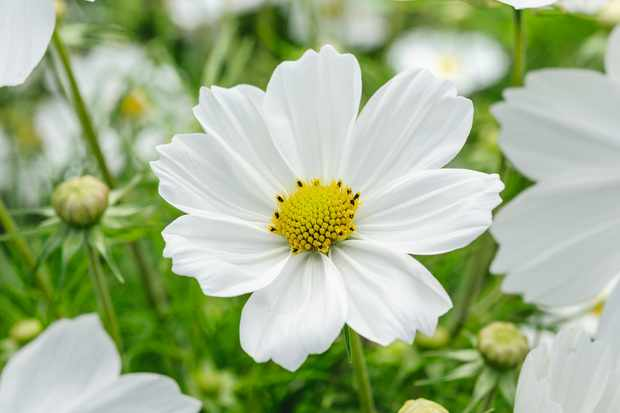 Cosmos Plant Profile at RHS Wisley (23rd August 2016)