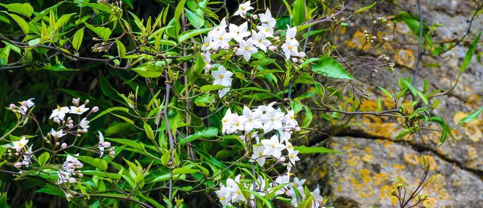 Solanum laxum 'Alba'