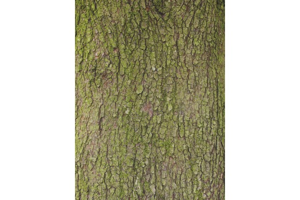 Crab apple tree bark